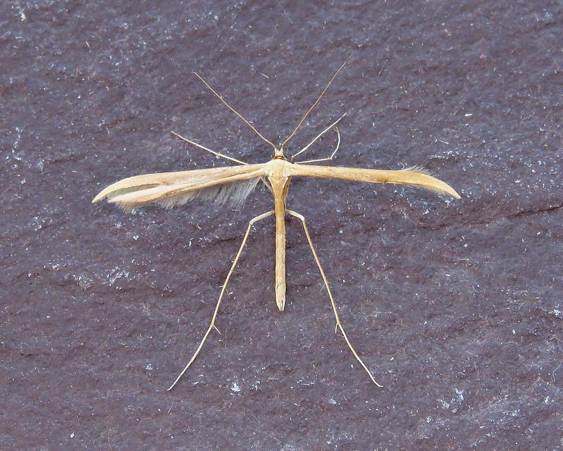 45.044 Common Plume - Emmelina monodactyla