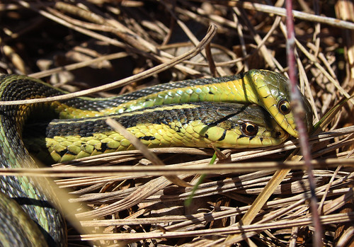 Mating pair of eastern garter snakes (Thamnophis sirtalis) | by phl_with_a_camera1