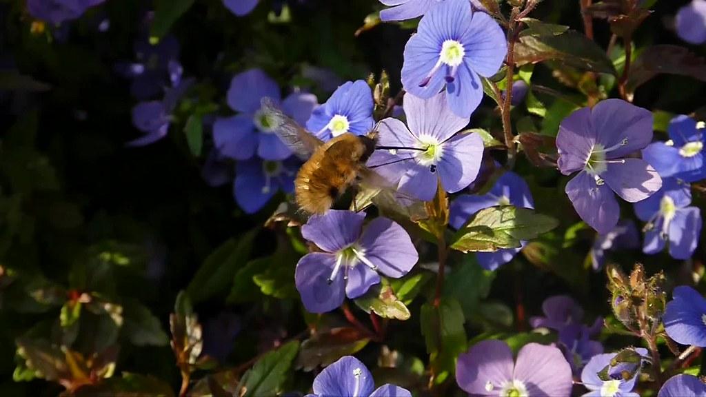 Beefly feeding