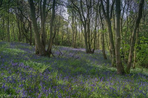 gateshead longacrewood bluebells trees wood woods gatesheaddistrict england unitedkingdom gb