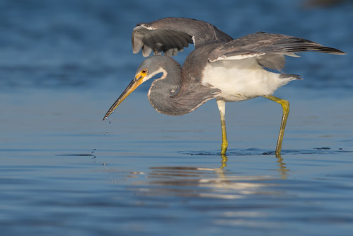 """Swing and a Miss"" (Tricolored Heron) 