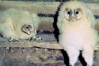 Young Barn Owls in Attic of House (1981)