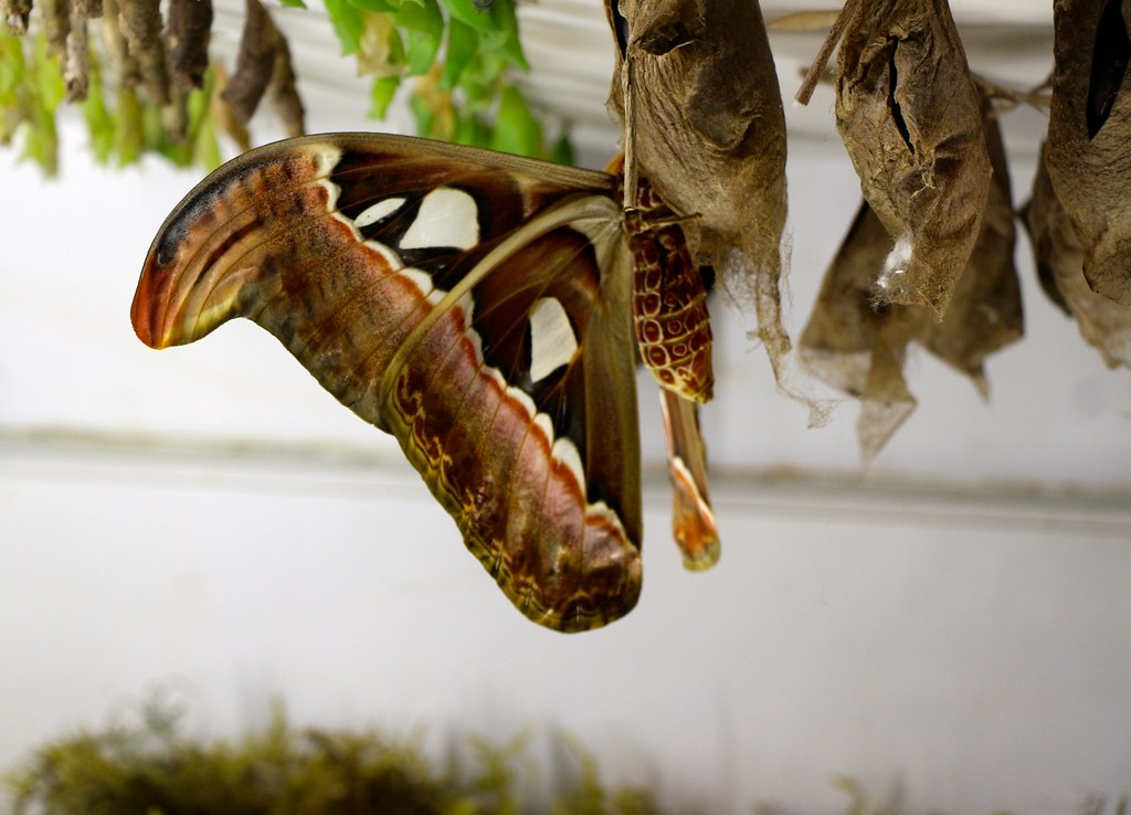 Atlas Moth A K A Snake S Head Moth The Worlds Largest M