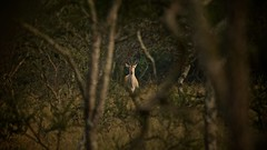 Eland in the bush