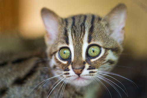 Rusty spotted kitten III | by Tambako the Jaguar