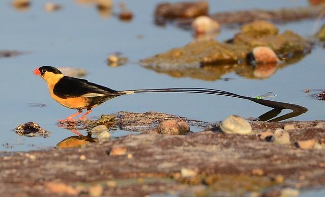 Shaft-tailed Whydah (Vidua regia) ♂