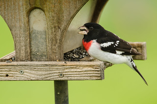 Rose-breasted Grosbeak--Male | by Robin Arnold