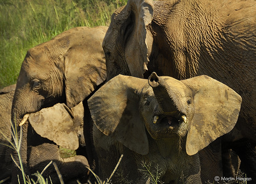 Mischievous Little Elephant Calf | by Martin_Heigan