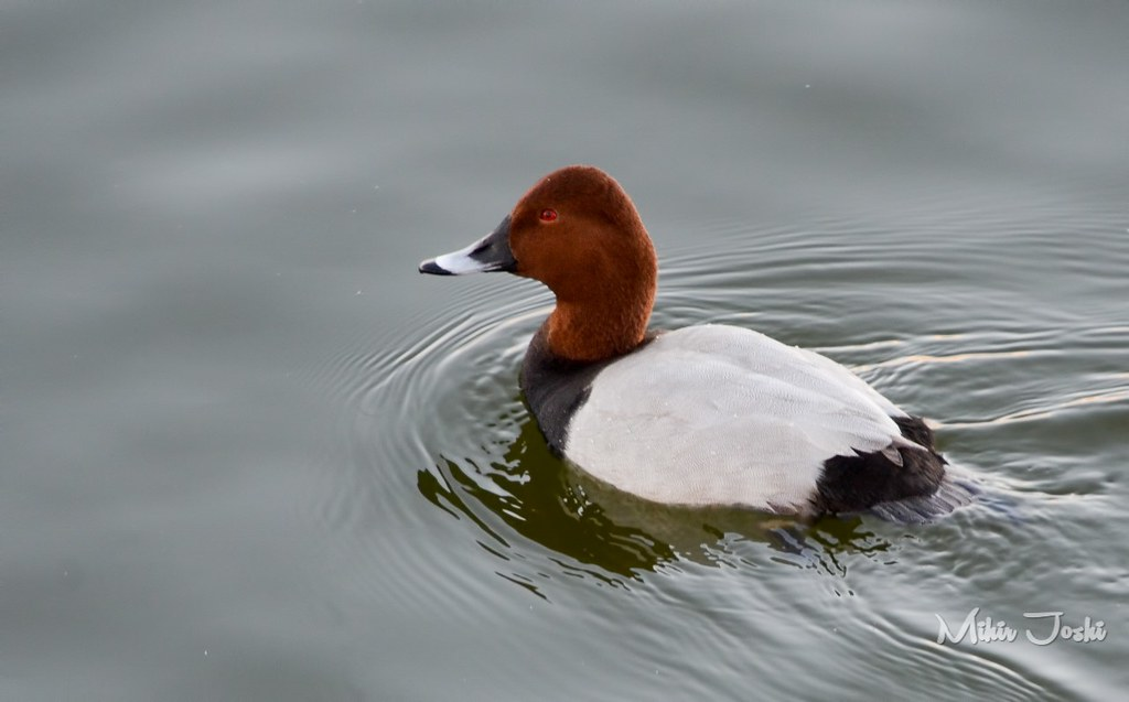 Common Pochard [Porrón Europeo]