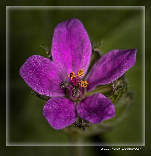 Flor de la cargola cicutària o agulletes de bruixa (Erodium cicutarium) Redstem Filaree (Bosc de ribera, Algemesí, la Ribera Alta, València, Spain)