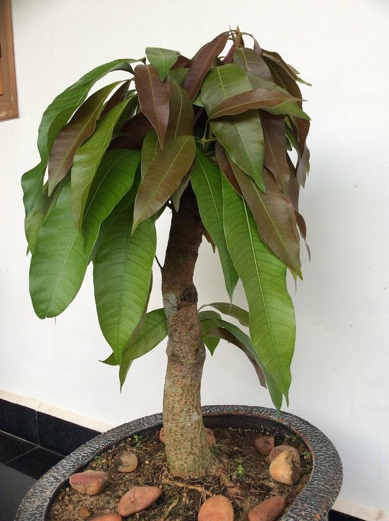 Ten year old mango tree bonsai,after drastic pruning. -