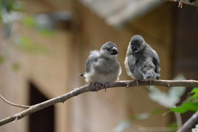 Java Finch Chicks