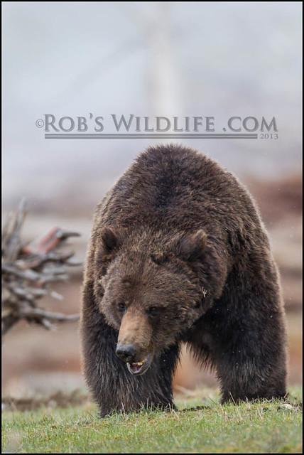 Grizzly Bear 050413-2908-W.jpg