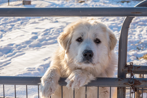 Great Pyrenees - Close-up