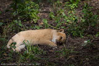 Young Lion Sleeping | by Petri Lopia