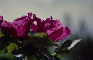Hagebuttenblüte