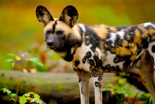African Wild Dog_39 | by guppiecat