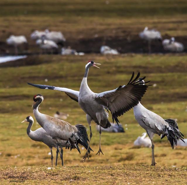 Common Cranes by lake Hornborgasjön