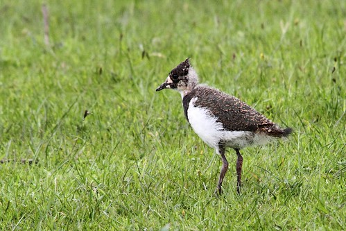 Lapwing chick, Baildon Moor | by Paul Marfell