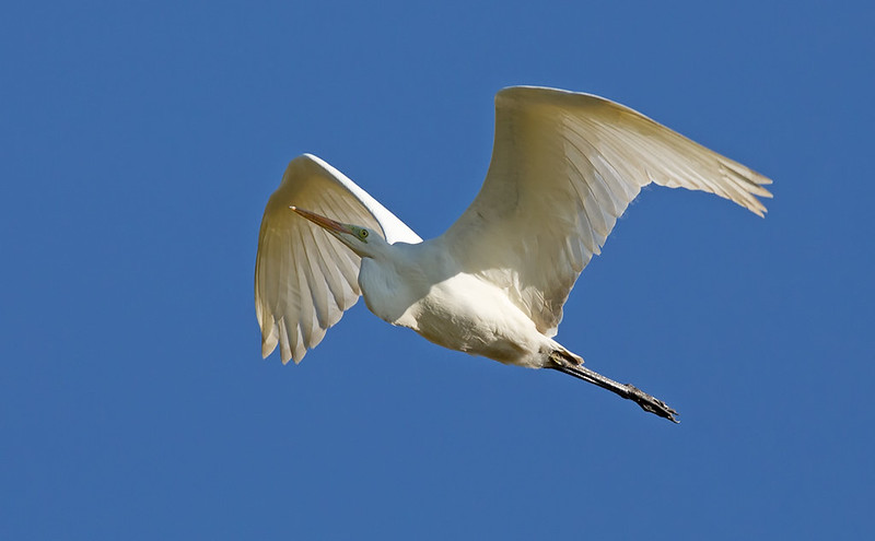 Great White Egret - I like the translucence against the blue sky.
