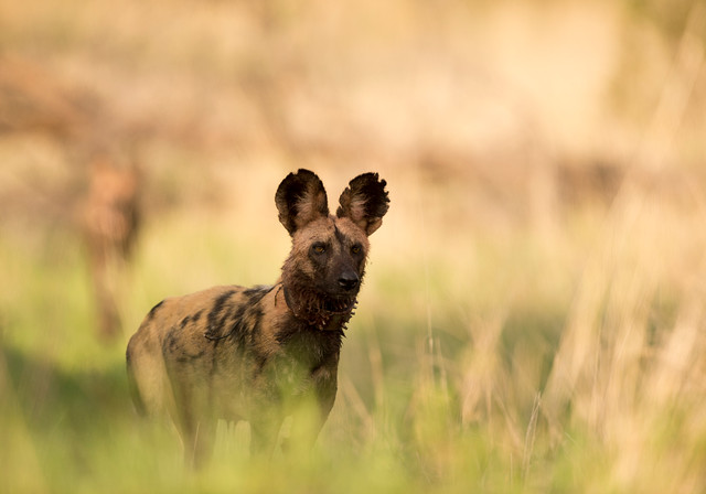 African Painted Wild Dog, Lycaon pictus, Hwange National Park, Zimbabwe