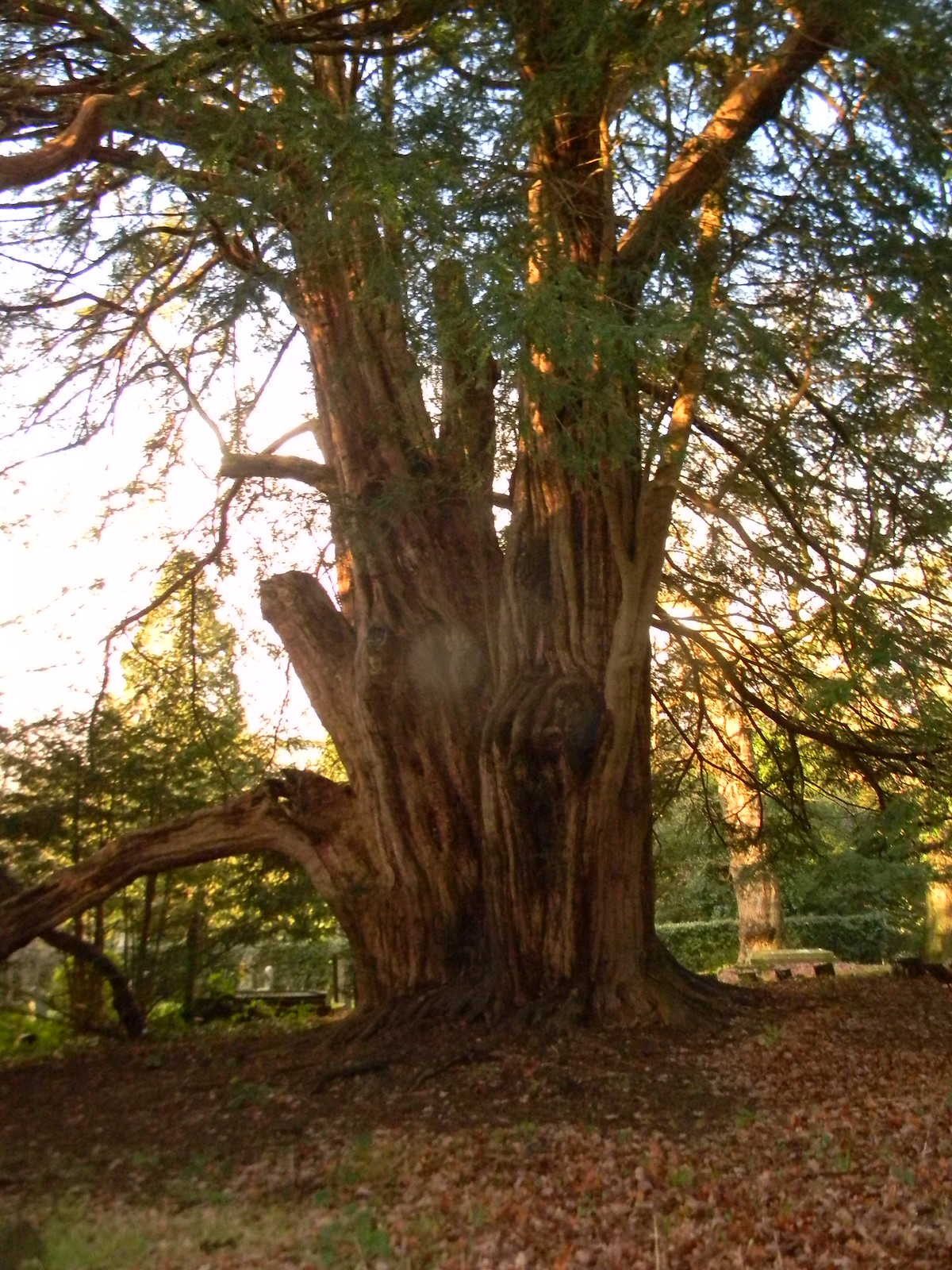 Tandridge Yew Its a big'un. Its an old'un. Woldingham to Oxted - short walk