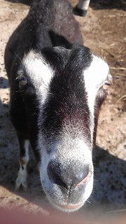 Goat   by Virtualdistortion