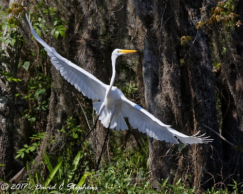 Great Egret Takes Off | by dcstep