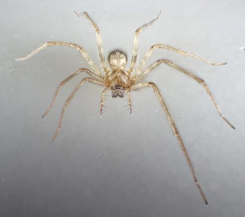 araneae ♀ tegenaria agelenidae tegenariadomestica tegenariini ageleninae asymmetriclimbs animalia arthropoda arachnida autotomy epimorphosis spider