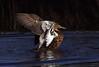 Grey teal Anas gracilis Travis Wetland New Zealand by Maureen Pierre