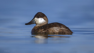 Ruddy Duck | by E_Rick1502