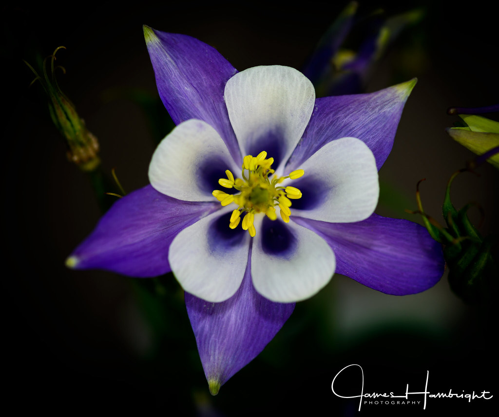 Aquilegia Origami Blue/White (Power-Module) | J Parker Dutch Bulbs | 855x1024