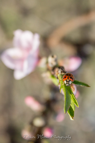 082/365 : Lady Bug   by niseag03