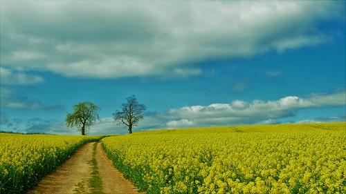 blue yellow cusworth doncaster oilseedrape april
