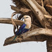 Blue-bellied Roller - Coracias cyanogaster by Gary Faulkner's wildlife photography