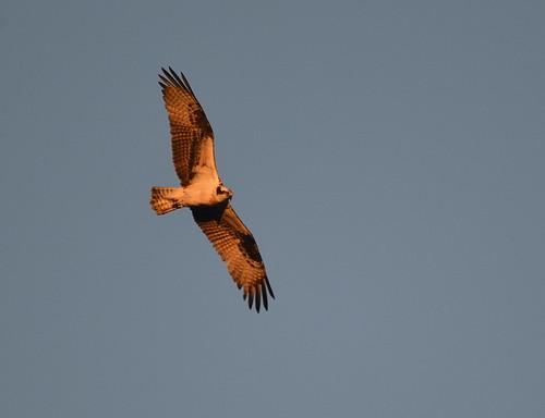 osprey flight wings sunrise sky pennyslvania schuylkill lake locust