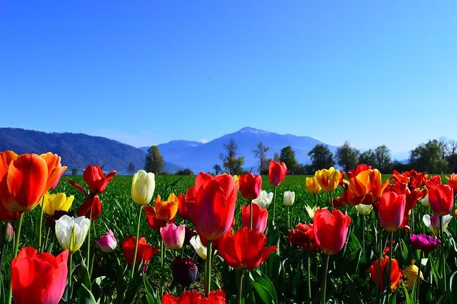 Zugersee Stadt Zug mit Rigi im Hintergrund Tulpen Schweiz Switzerland