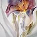 Iris (unframed)