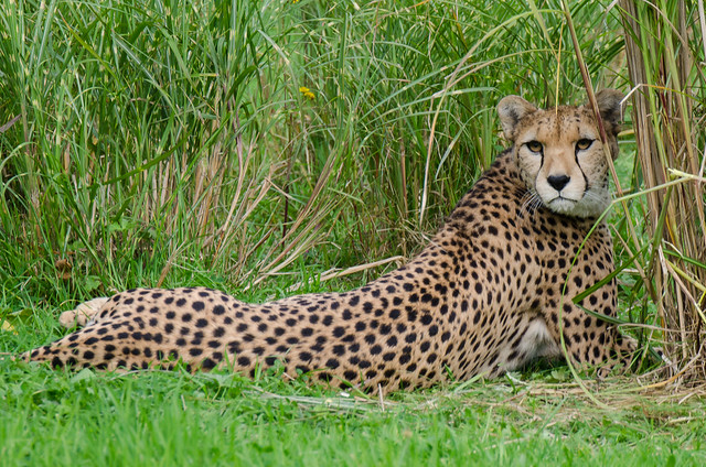 Northern Cheetah.