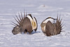 036014-IMG_7042 Greater Sage-grouse (Centrocercus urophasianus) by ajmatthehiddenhouse