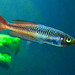 Ornate Rainbowfish - Photo (c) Chris Van Wyk, some rights reserved (CC BY-NC-ND)