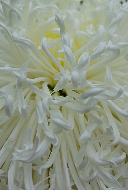 Chrysanthemum  Abstract