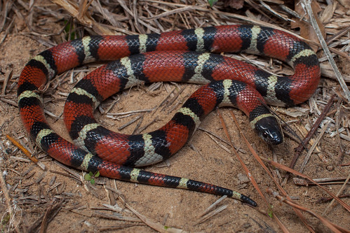 Lampropeltis triangulum amaura (Louisiana Milk Snake) | by Kyle L.E.