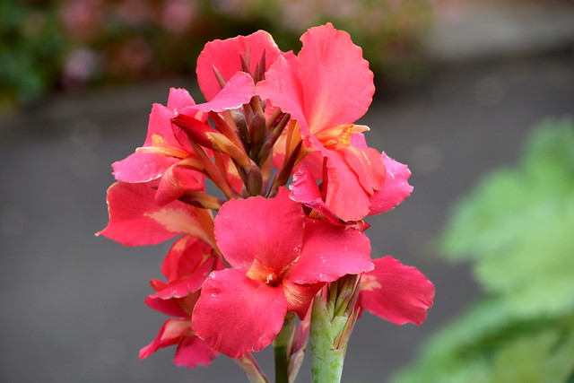 tropical Canna Flowers