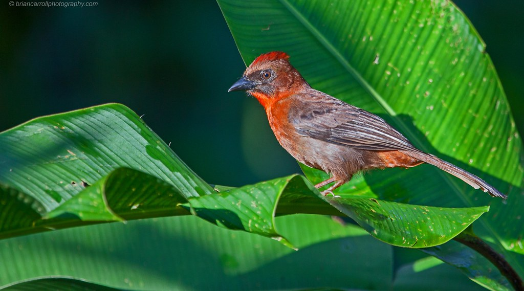 Red Crowned Ant Tanager, Costa Rica