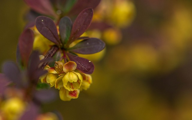 berberis vulgaris (02)