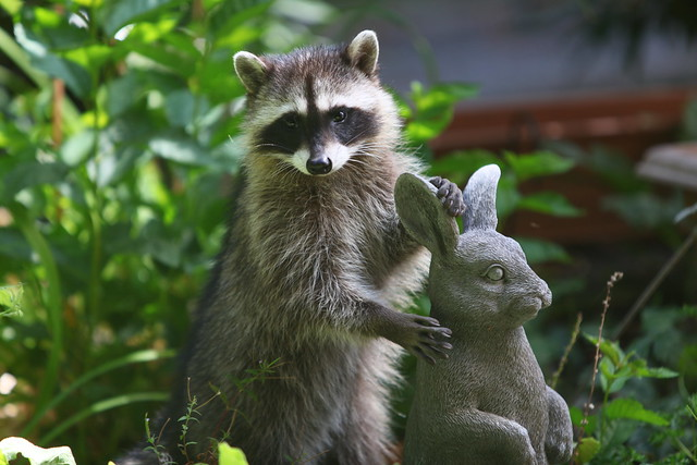 Racoons in the backyard, Burnaby. BC. Canada