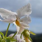 Stemor - Viola tricolor