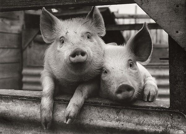 Dorset Pigs