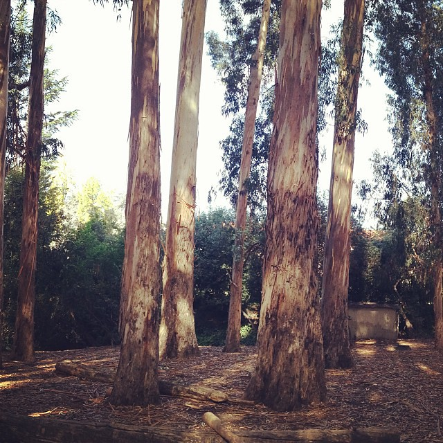 The #berkeley #eucalyptus grove  The tallest stand of hard